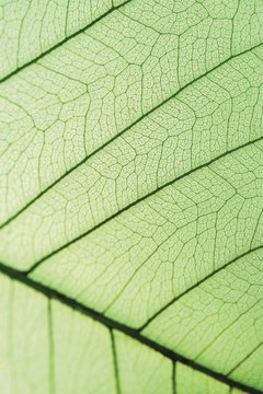 Cells in the leaf use the sun's energy to make sugars.