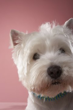 Westie Maltese Behavior - Pets