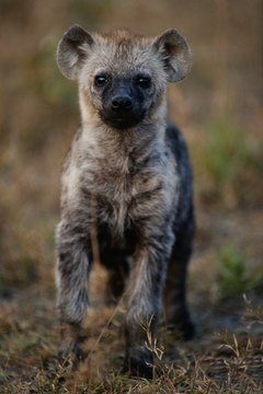 Though known as a scavenger, the spotted hyena is also a skilled, intelligent hunter.