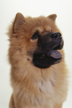 Blowing the undercoat is part of the natural growth cycle of a chow chow's fur.