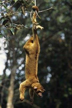 The Kinkajou Vs The Olingo Animals Momme