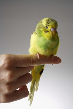 Even a parakeet with unclipped wings can perch on your finger.