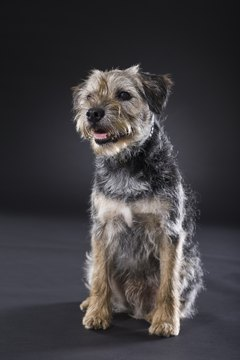 Border terriers look great after they're hand stripped.