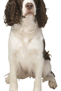 Springer spaniels require frequent grooming to look their best.