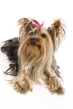 Yorkie coat type is a matter color, texture and length.