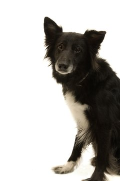 Border collies lose patches of their long, soft hair when infected with mange.