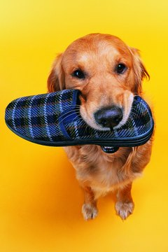 Some dogs benefit from wearing shoes.