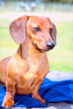 Too little thyroid hormone makes Doxie a dull boy.