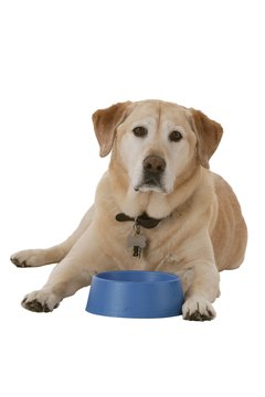 Labs are particularly prone to food allergies.