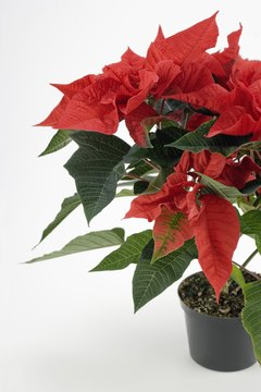 Poinsettias are not a major concern, but other holiday plants may be harmful.
