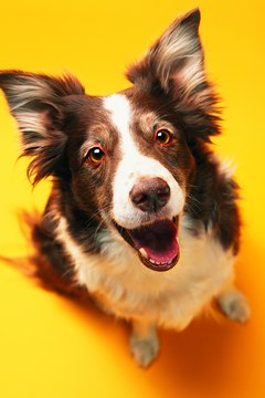 Collies are high-energy and need a lot of exercise before you leave them alone for hours.