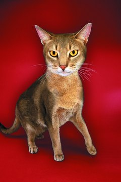Abyssinians and Maine coons have an elevatated risk of congenital knee problems.