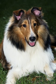 The rough collie at ease.