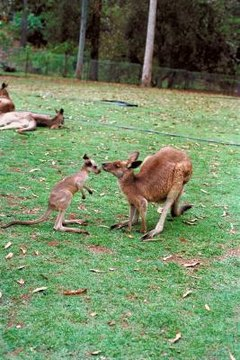 How Do Kangaroos Communicate Animals Mom Me