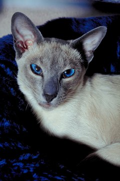 Siamese cats have a genetic tendency toward crossed eyes.