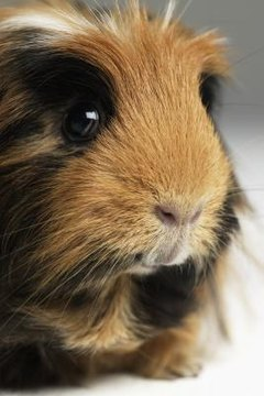 What Does It Mean When a Guinea Pig Breathes Fast? | Animals