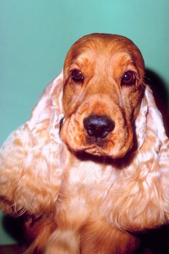 Epilepsy is common in cocker spaniels.