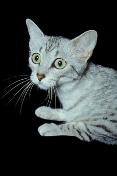 Cats with nervous twitches often display enlarged pupils as well.