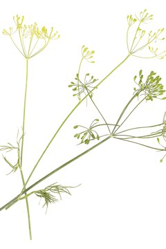 Fennel essential oils may offer antimicrobial benefits.