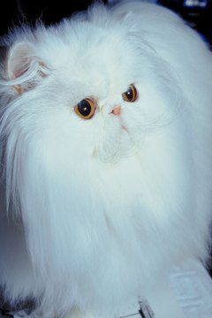 Cats with flat faces like Persians and Himalayans are more prone to develop tear stains.