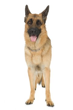 German shepherds are predisposed to developing hip dysplasia.