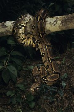 Adaptations Of The Colombian Red Tailed Boa Constrictor