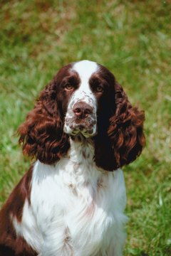The English springer spaniel needs only moderate grooming.