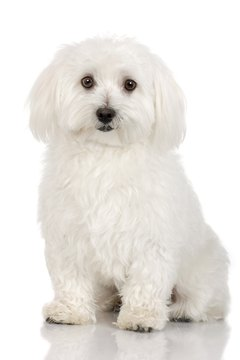 The bichon frise often is one of a teddy bear dog's parents.