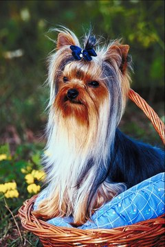 The Yorkshire terrier's long locks aren't easy to maintain.
