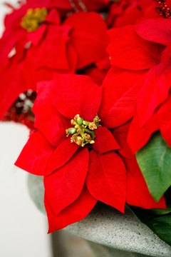 Keep poinsettias away from your cat's mouth.