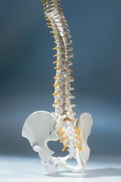 A model depicting the natural S-shaped curvature of the spine.