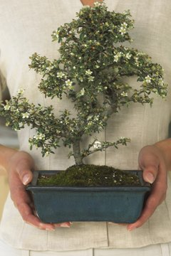 Offer a simple bonsai to represent wishes of peace and harmony.