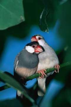 Snuggling is a favorite activity for finch buddies.