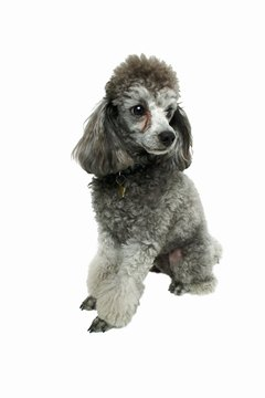 Groomed to perfection, the poodle is simply adorable.