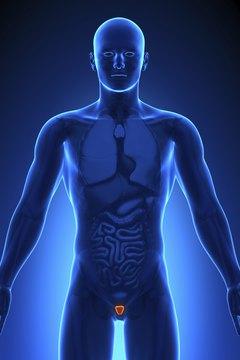 Medical Imaging - Male Organs Prostate