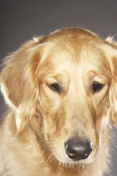 Degenerative myelopathy in golden retrievers is the human equivalent of Lou Gehrig's disease in people.
