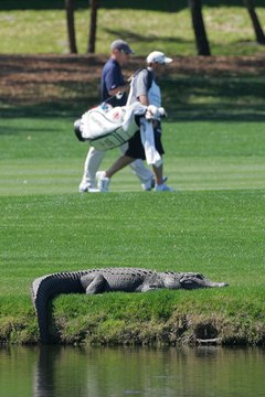 Although not a concern in most of the US, alligators can lurk in water hazards on Florida golf courses.