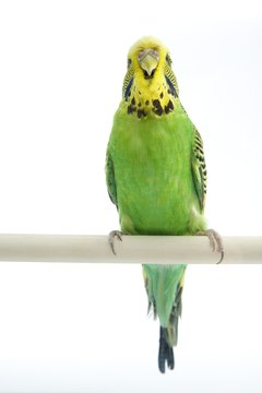 The budgie can be friends with many other types of birds.