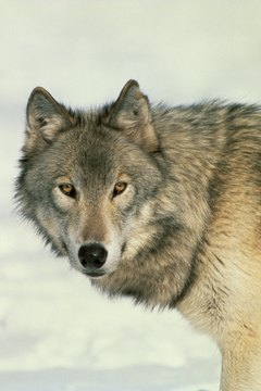 Gray wolves and German shepherds are the usual subjects for crossbreeding projects.