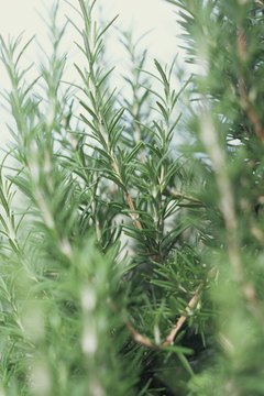Rosemary repels evil spirits.