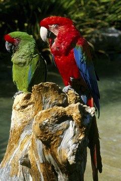 Any breed of bird can catch the polyomavirus.