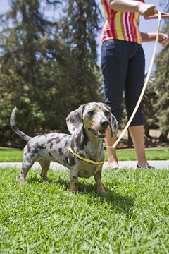 Dachshunds need exercise to fight off obesity, a common problem.