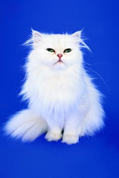 White cats can have two different-colored eyes.