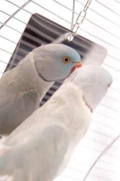 Some parakeets will guard the mirror from cagemates after becoming obsessed with the reflection.