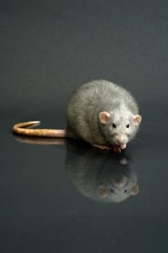 How to Train Rats to Use the Litter Box | Animals - mom.me