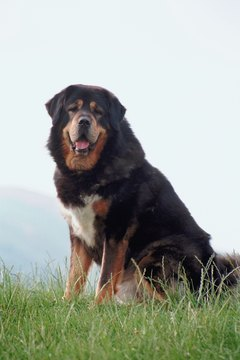 The Tibetan mastiff has much in common with the Caucasian shepherd.