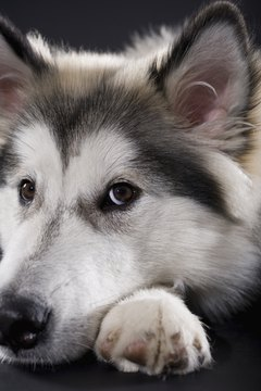 Weight loss in a Husky can be brought on by different factors.