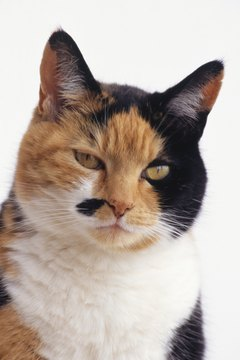 A calico cat has vivid colors; a dilute has the same hues but less intense.