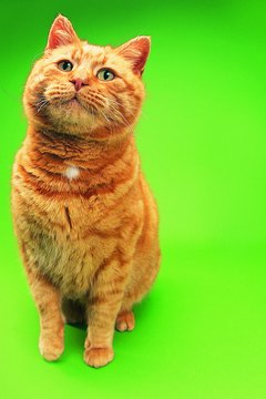 "Many orange tabby cats have ""freckles."""