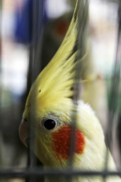 You want your cockatiel looking at you instead of a reflection.